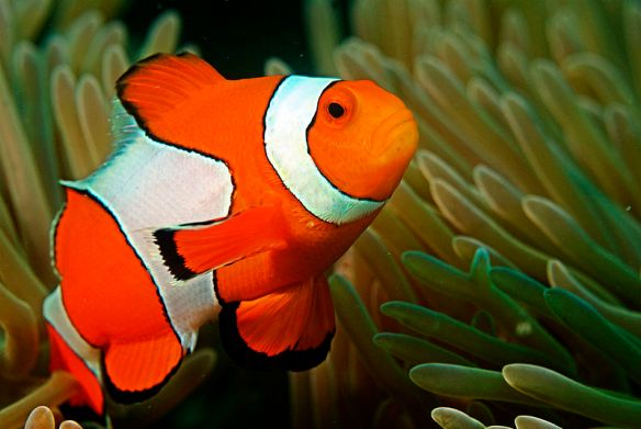 Clownfish (Wikimedia commons)