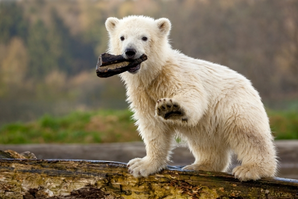 Siku the polar bear (image: Polar Bears International)