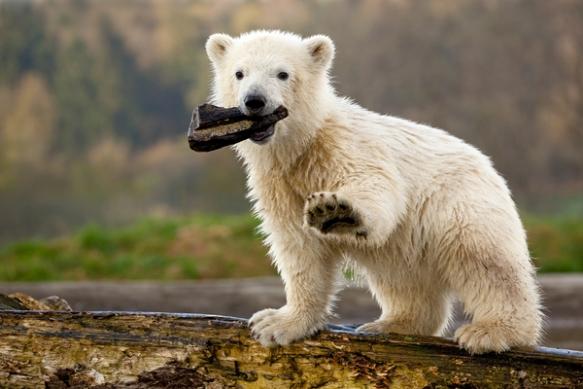 Siku the polar bear (image: Polar Bears International)